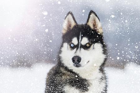 Husky mit bunten Augen bei Schneefall an einem sonnigen Wintertag