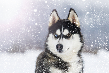 Husky with colorful eyes during snowfall on a sunny winter day