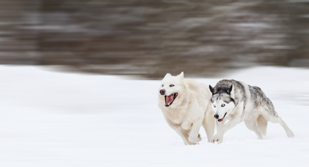 Husky running quickly competing on snow, Pets