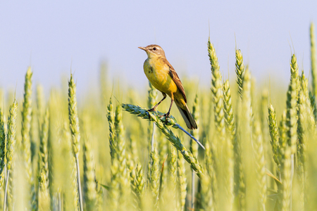 yellow wagtail sitting on ears of wheat