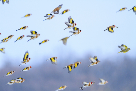 goldfinches flying across the sky