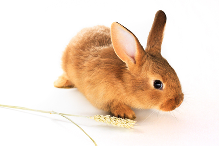 red rabbit and spikelet on a white background