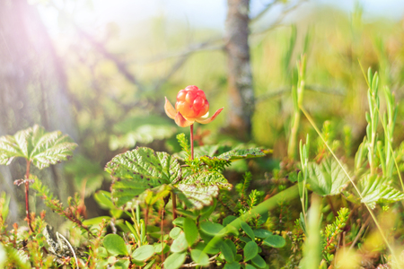 cloudberry among the marsh swamps on a sunny day Stock Photo