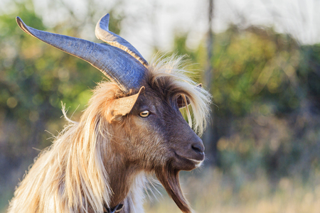 goat with big horns and beard Foto de archivo