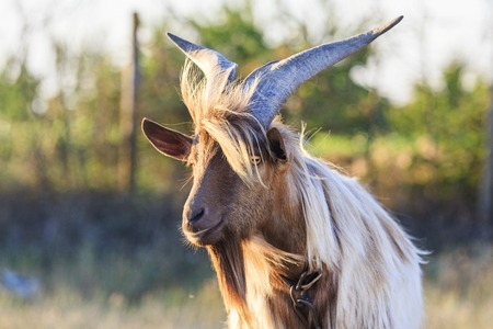 goat with big horns