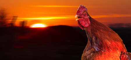 rooster meets a new day at dawn with a cock-a-doodle-doo