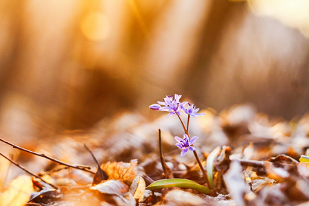first spring flower at sunset