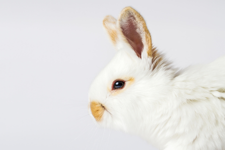 beautiful white rabbit with red ears