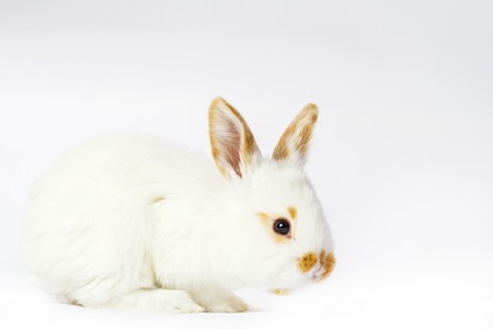 cute fluffy white rabbit on a white background