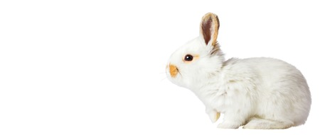 white easter bunny isolated on white background