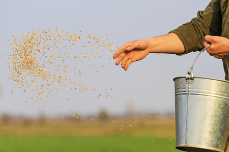 man sows grain throwing it on the ground