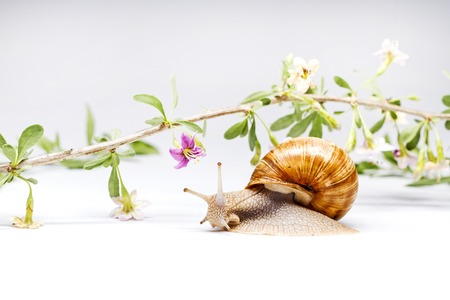 goji flowers and snail on white background