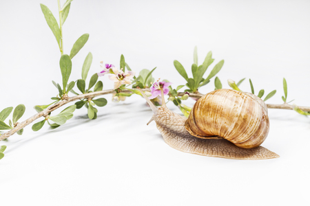 snail and goji flower on a white background