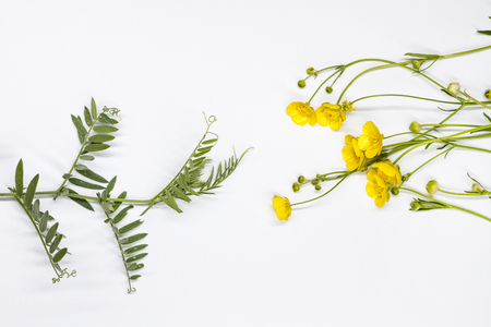 yellow flowers and pea sprouts on white background