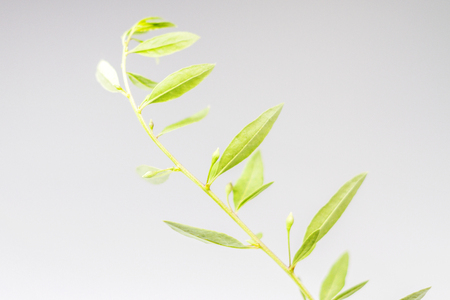 green goji leaves on a white background