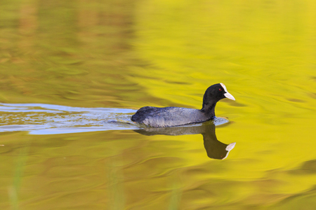 coot swimming on a lake in the evening light Imagens