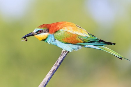 bee-eater sits on a branch with a bee in its beak