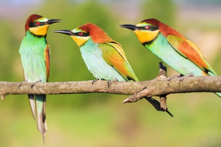 three bee-eaters sit on a branch