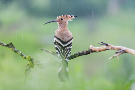 hoopoe sitting on a branch in the rain