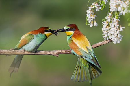wild birds during spring courtship