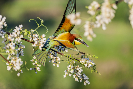 beautiful wild colored bird flies among the flowers of white acacia Imagens