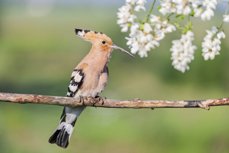 hoopoe sitting on a branch among the flowers of acacia Imagens