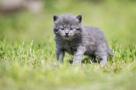 little gray kitten among the green grass