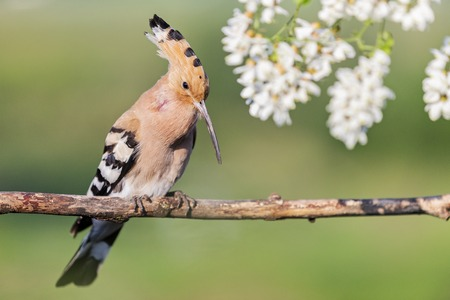 hoopoe sings in the colors of acacia