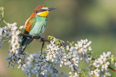 bee-eater in the morning sits among the flowers of acacia
