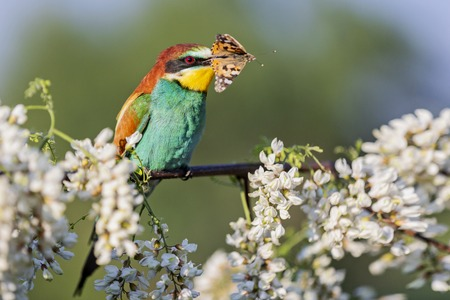 bee-eater with butterfly in its beak among acacia flowers, bird life, wildlife