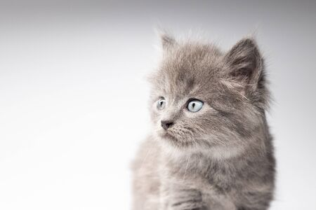 gray kitten on a white background looks away with interest