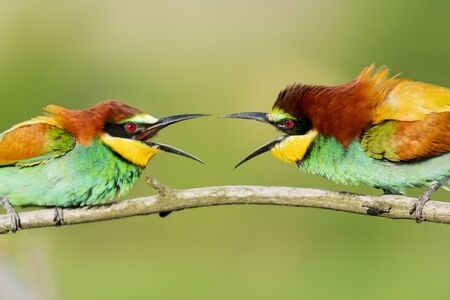 beautiful colorful birds scream at each other