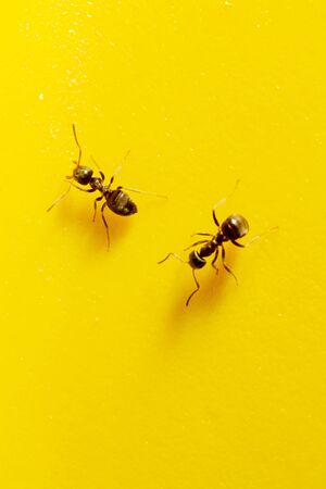 two ants on a yellow background Stock Photo