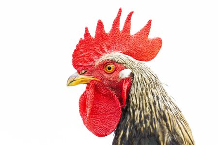 rooster with red comb isolated on white background
