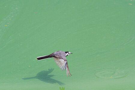 little gray bird flies over the green river