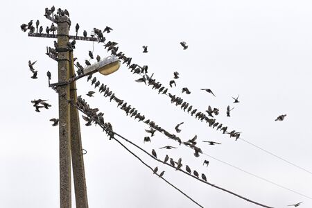 starlings for relaxation sit on wires, wild nature