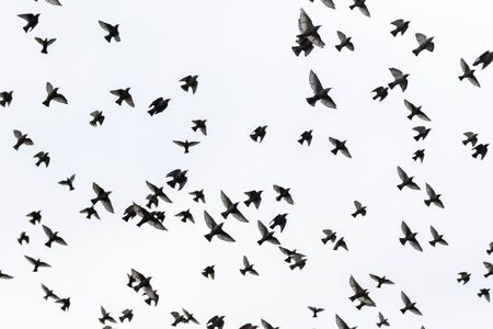 starlings spreading wings flying through the gray sky, wild nature