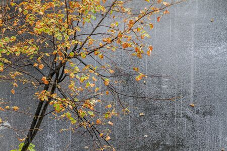 autumn cold rain and a tree with fallen leaves, wild nature