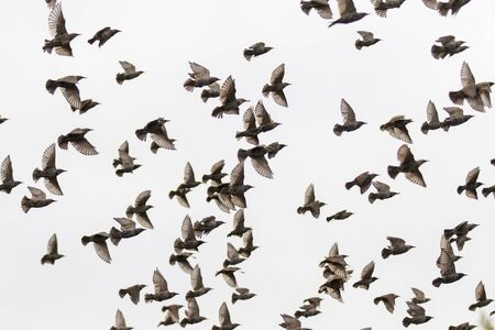 starlings fly through the gray sky, wild nature