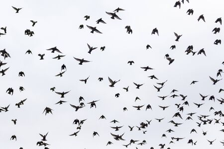 flock of starlings flies through the gray sky , wild nature