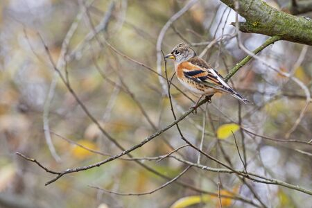brambling sitting on a bush with fallen leaves , fall and wildlife