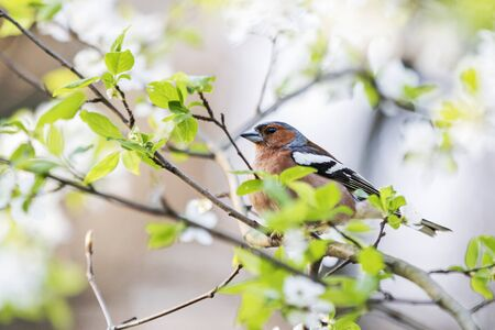 spring bird on a branch with flowers , wild nature Stock Photo