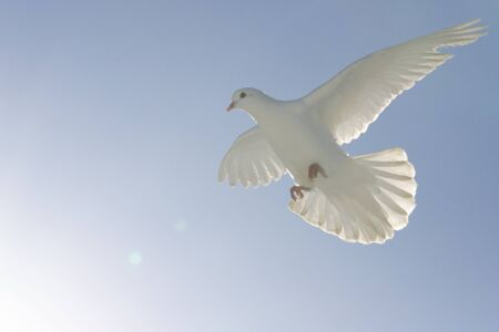 white dove flies in soft warm light, sacred bird