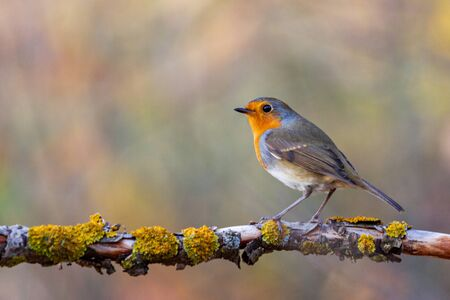 robin sits on a branch in the autumn forest, wild nature