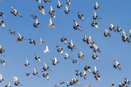 flock of pigeons flies beautifully in the blue sky 版權商用圖片