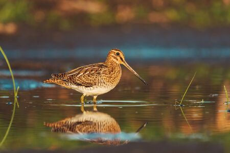 snipe stands in shallow water with reflection in the water