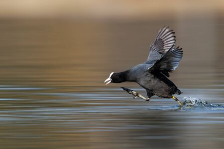 coot very quickly runs through the water flapping its wings