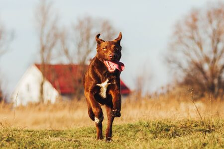 young dog sticking out his tongue runs across the field