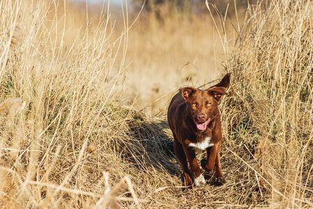 beautiful brown dog runs across the field , wild nature