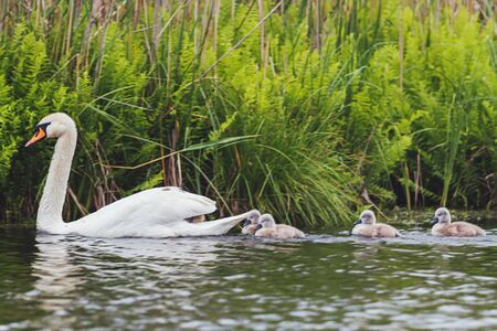 family of swans floating on the lake